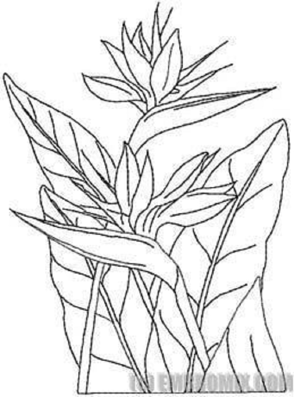 bird of paradise flower colouring pages picolour