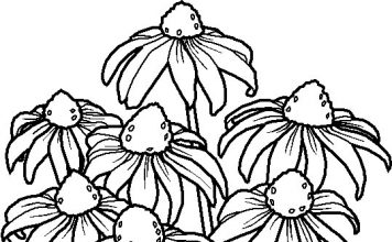 Coneflower Flowers Colouring Pages