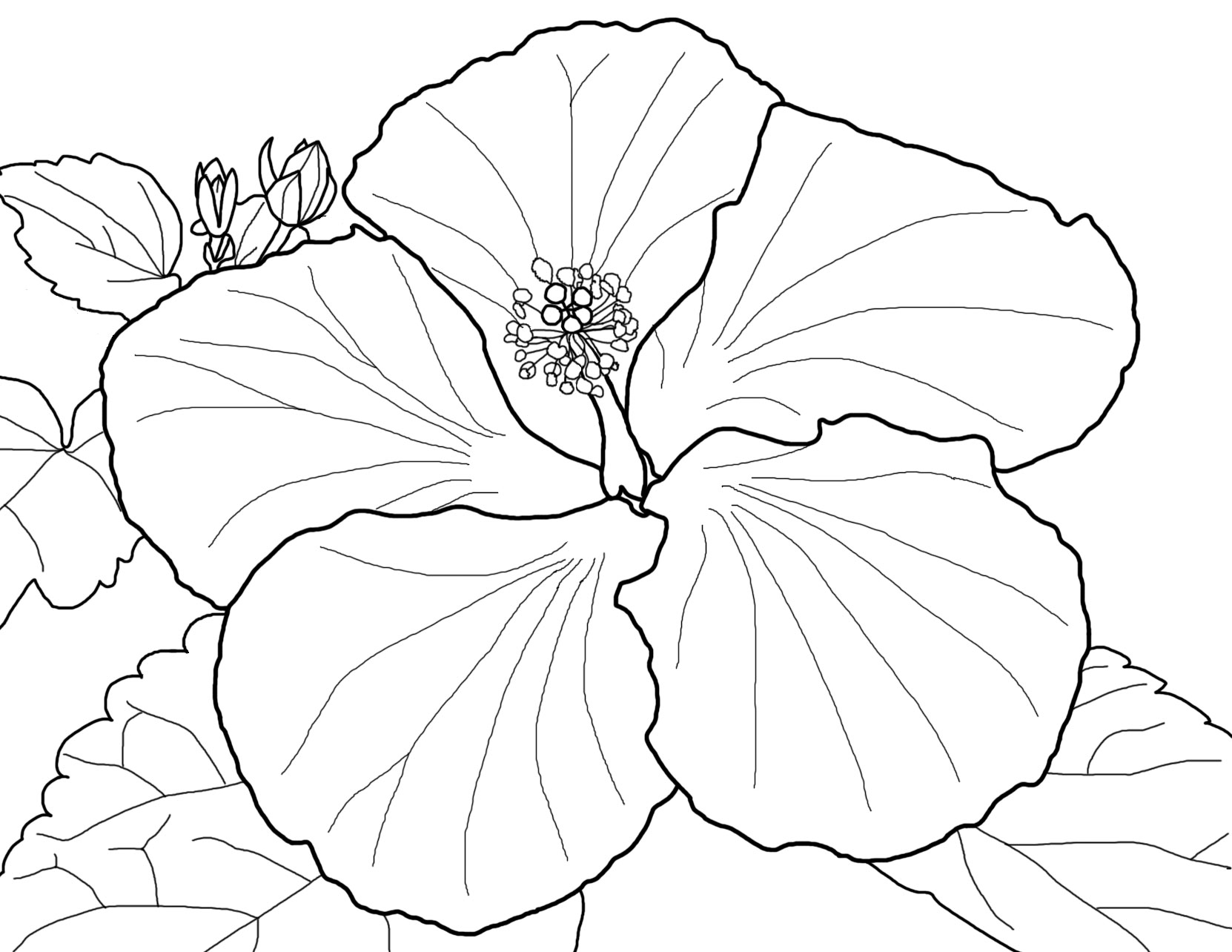 hibiscus flower colouring pages